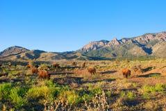 Westbüffel-Bison Stockbilder