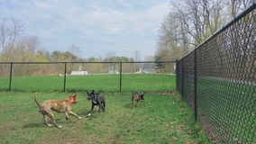 Westbrook Dog Park, Friday, May 4, 2018, Westbrook, Maine. Three dogs playing together at the Westbrook, Maine, dog park, showing the skateboard area in Royalty Free Stock Photography