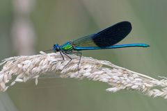Westdemoisellemann - Calopteryx-xanthostoma - Frankreich lizenzfreies stockbild