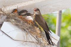 Westelijk kingbirdnest Royalty-vrije Stock Foto's