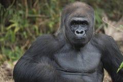 Westelijk Laagland Silverback Gorila royalty-vrije stock afbeelding