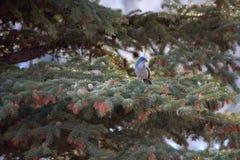 Westelijk schrob Vogel op Pijnboomboom Royalty-vrije Stock Afbeeldingen
