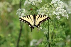 Westelijk Tiger Swallowtail Butterly royalty-vrije stock fotografie