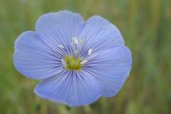 Westelijke Blauwe Vlasbloem Royalty-vrije Stock Afbeeldingen