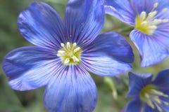 Westelijke Blauwe Vlasbloem Stock Afbeeldingen