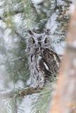Westelijke Doordringende kreet Owl In The Snow Royalty-vrije Stock Foto's
