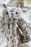 Westelijke Doordringende kreet Owl In The Snow Stock Afbeelding