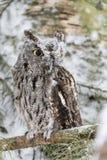 Westelijke Doordringende kreet Owl In The Snow Stock Foto