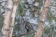 Westelijke Doordringende kreet Owl In The Snow Royalty-vrije Stock Afbeeldingen