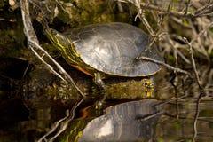 Westelijke Geschilderde Schildpad Stock Foto's