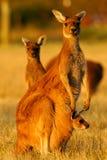 Westelijke Grijze Kangoeroe Royalty-vrije Stock Foto
