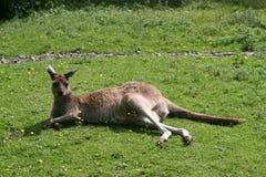 Westelijke Grijze Kangoeroe (Macropus Fuliginosis) stock afbeeldingen