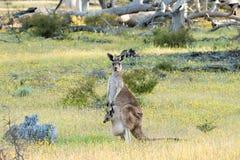 Westelijke grijze kangoeroe (Macropus-fuliginosus) moeder met joey Royalty-vrije Stock Foto's