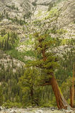 Westelijke Jeneverbessenbomen Stock Foto