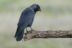 Westelijke Kauw, (Corvus-monedula) Royalty-vrije Stock Foto's