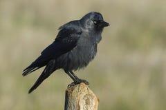 Westelijke Kauw, (Corvus-monedula) Stock Foto