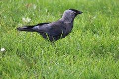 Westelijke Kauw (Corvus-monedula) Royalty-vrije Stock Foto's