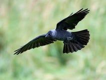 Westelijke kauw & x28; Corvus monedula& x29; stock foto's
