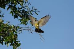 Westelijke kingbird Royalty-vrije Stock Foto