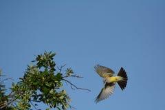 Westelijke kingbird Stock Foto