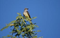 Westelijke Kingbird in Palo Verde-boom, Tucson Arizona stock afbeeldingen