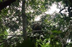 Westelijke laaglandgorilla op een boom, westelijk Afrikaans regenwoud, conkouati-Douli nationaal park, de Kongo stock fotografie