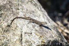 Westelijke Omheining Lizard op een Rots Stock Fotografie
