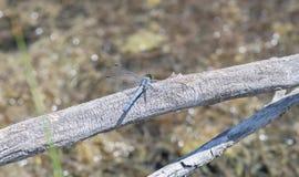 Westelijke Pondhawk-Neergestreken collocata van Libelerythemis Royalty-vrije Stock Foto's