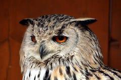 Westelijke Siberische Eagle-uil (Bubo-bubosibiricus) royalty-vrije stock afbeelding