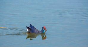 Westelijke Swamphen met vissen Royalty-vrije Stock Fotografie