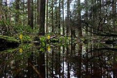 Westelijke van het Stinkdierkool of Moeras Lantaarns in het natte regenwoud royalty-vrije stock foto's