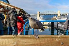 Westelijke Zeemeeuwen in Granville Island Vancouver BC royalty-vrije stock afbeelding
