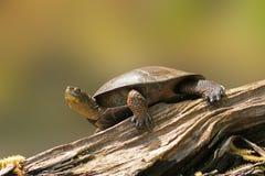 Wester dammsköldpadda på en logga Royaltyfria Foton