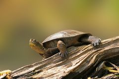 Wester Pond Turtle on a Log royalty free stock photos