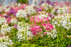 Westerm flower tare. Colorful western tare in the garden with background blur Royalty Free Stock Photo