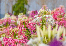 Westerm kwiatu tara Obrazy Royalty Free