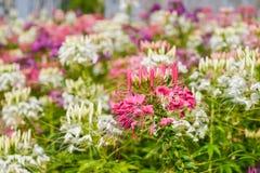Westerm kwiatu tara Zdjęcie Royalty Free