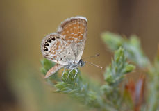Westerm Pygmy-Blue Stock Images