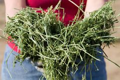 Western Alfalfa. Farmer holds western alfalfa to be feed to livestock Stock Photos