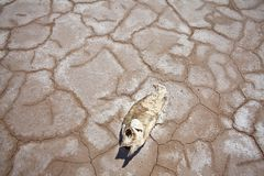 Western American Drought Dead Fish. Severe drought strands a fish on a parched dry lake in the western United States Royalty Free Stock Photos