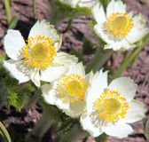 Western Anemone Stock Images