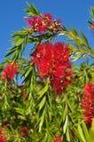 Western Australia Bottlebrush flower plant tree Callistemom Royalty Free Stock Images