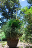 Western australia Grasstree Stock Image