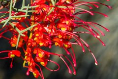 Western Australia native wildflower red and yellow grevillea Royalty Free Stock Image