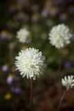 Western Australia native wildflower single white everlasting paper daisy close up Stock Photos