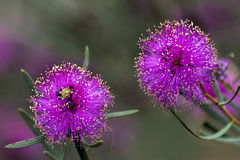 Western Australia Showy Honey-myrtle, Pink Melaleuca. Beautiful  pink wildflowers of Perth WA Stock Image