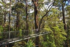 Western Australia Tingle giant tree Stock Photography
