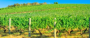 Western Australia Wineries. Landscape panorama of rows of grapes in a vineyard. Wilyabrup in Margaret River known as the wine region in Western Australia Royalty Free Stock Photography