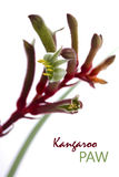 The Western Australian Red and Green Kangaroo Flower Stock Photos