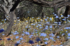 Western Australian wildflower Royalty Free Stock Images